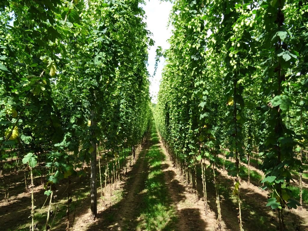 A Worcestershire Hop Yard